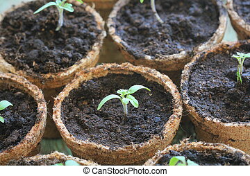 Young tomato seedling sprouts in the peat pots. Gardening concept