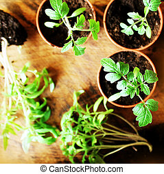 Young tomato seedlings on wooden backdround. Gardening concept. Top view.