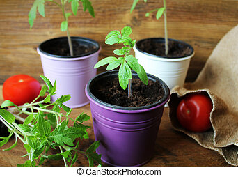 Young tomato seedlings on wooden backdround. Gardening concept.