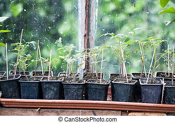 Young tomatoes seedlings