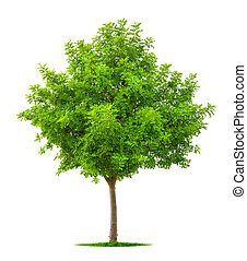 Young tree isolated on white
