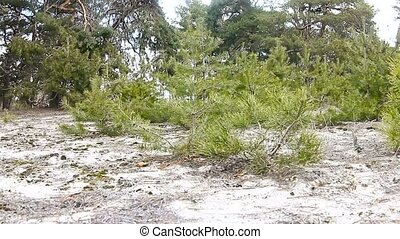 young trees pine tree forest landscape nature - young trees...