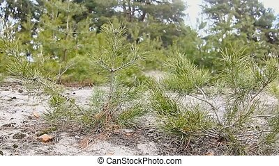 young trees pine tree landscape forest nature - young trees...