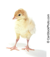 Young turkey on white background - Baby domesticated turkey...
