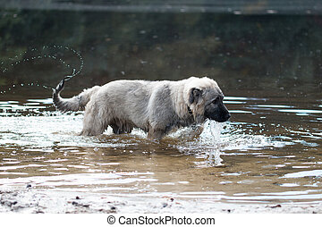 Young Turkish sheepdog playing in water