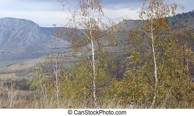 Young Twins Birch Trees - Two golden birches twins raised in...