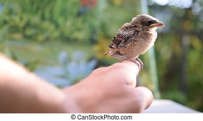 Young unfledged bird sits on human hand outdoors. - Young...