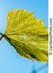 Young vine leaves and tendrils on b