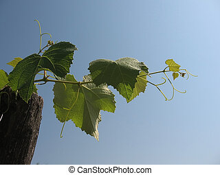 Young vines against the sky