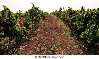 Young vineyards in rows. View of a green grape plantation....