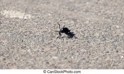 Young violet oil beetle sits on the asphalt and moves...