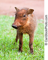 Young Warthog piglet walking on short green grass