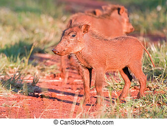 Young Warthog standing on a bush track in grass