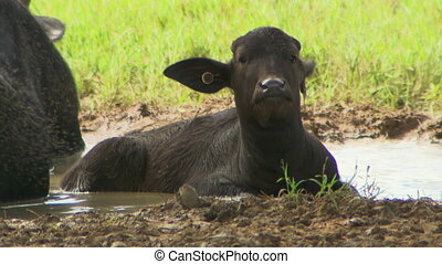 Young Water Buffalo Sitting In Mud Puddle - Steady, medium...