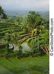 Young watered ricefield with palms