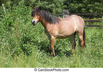 Young welsh mountain pony mare