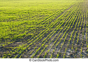 Young wheat in the field