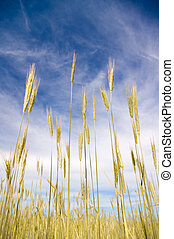 young wheat on blue sky background