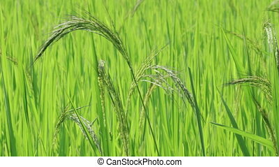 Young wheat plant close up