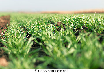 Young wheat seedlings growing in a field. - Young green...