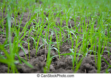 Young wheat seedlings growing in a soil