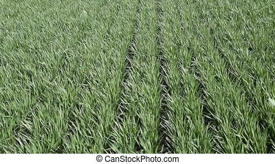 Young wheat swaying in the wind. Spring winter wheat field....
