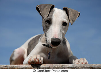young purebred greyhound whippet