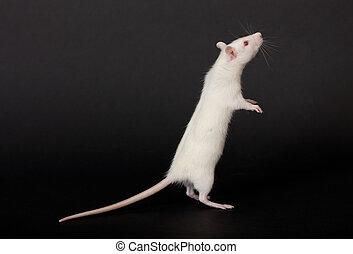 rat on a black background