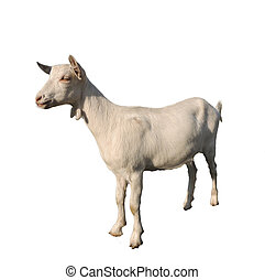 young white goat isolated - young white goat on a white...