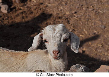 Young white goat looking in to the camera