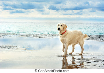 young white golden retriever stand on the seafront - young...
