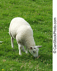 young white lamb  grazing in a field in spring