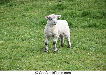 Young White Lamb on Wobbly Legs in a Field