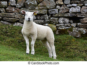 Young White Lamb Standing in a Field in England