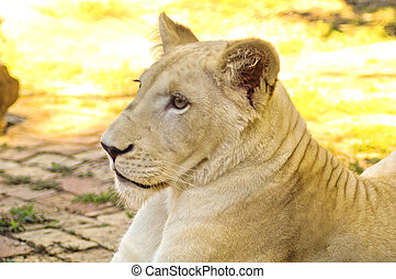 Young white lioness