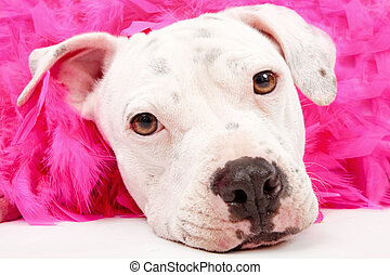 Close-up of a young white put bull mix dog laying down with a pink boa