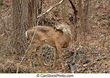 White-tail Deer - Young White-tail Deer With Itch