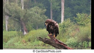 Young white-tailed eagle, haliaeetus albicilla, sitting down on a branch with open wings in summer nature. Juvenile bird of prey perched on a old tree in swamp inside riparian forest. Animal wildlife.