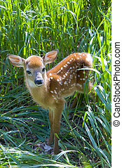 Young Whitetailed Deer looking out from tall grass