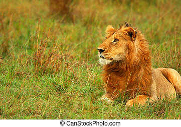 Young wild african lion