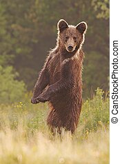 Young wild curious brown bear, ursus arctos, standing erected in upright position on rear legs.