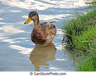 Young wild duck standing at the bottom of a shallow river