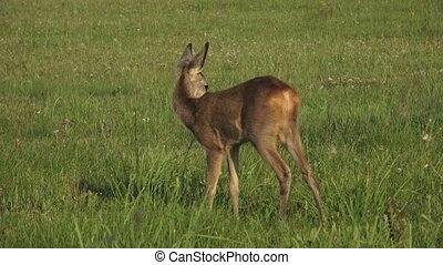 Young wild roe deer in grass, Capreolus capreolus.