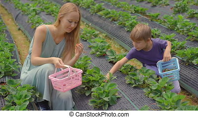 Young woman and her little son collect strawbery on an eco farm. Ecoturism concept.