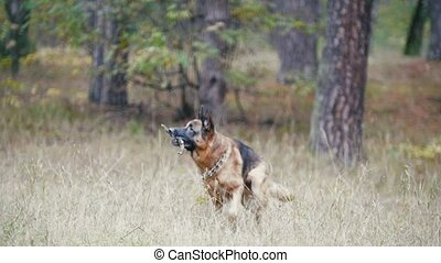 Young woman and her pet - german shepherd - walking on a autumn forest - dog plays with a branch