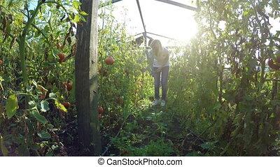 Young woman farmer entrepreneur checking on tomatoes...
