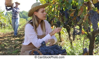 Young woman farmer harvesting ripe blue grapes in sunny vineyard