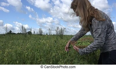 young woman gather green ripe pea in wicker plate field. 4K...
