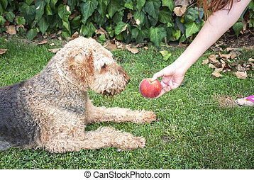 Young woman giving a peach to her dog, airdale terrier. dog sitting on the grass.