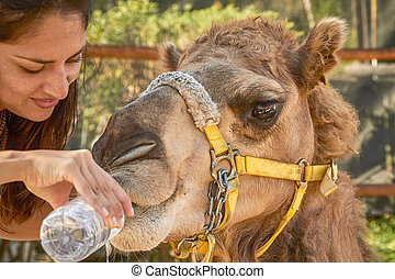 Young Woman Giving Water to Camel.